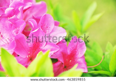 Rhododendron simsii Planch.