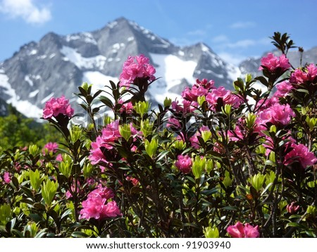 rhododendron with glacier in the background - stock photo