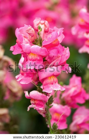 Rhododendrons starting to bloom - stock photo