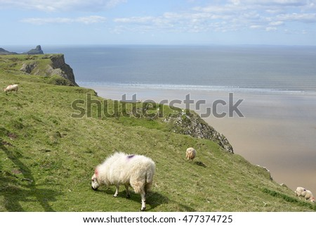 Rhossili Bay with sheep grazing. Gower Peninsular, Wales, UK