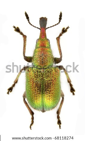 Rhynchites auratus (cherry weevil) isolated on a white background. - stock photo