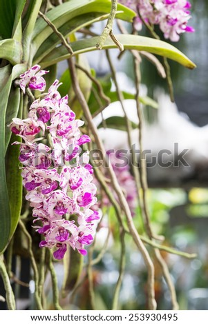 Rhynchostylis gigantea is a species of orchid (foxtail orchids) - stock photo