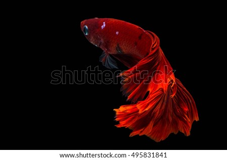 Rhythmic of Betta fish, siamese fighting fish,isolated on black background.