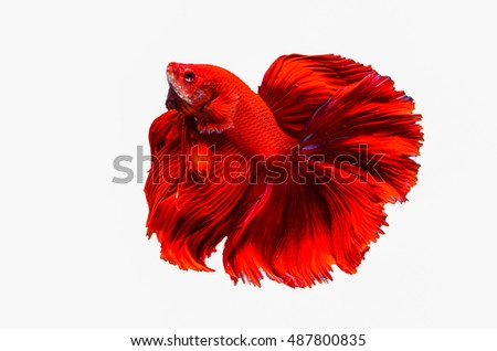 Rhythmic of Betta fish, siamese fighting fish,isolated on white background.