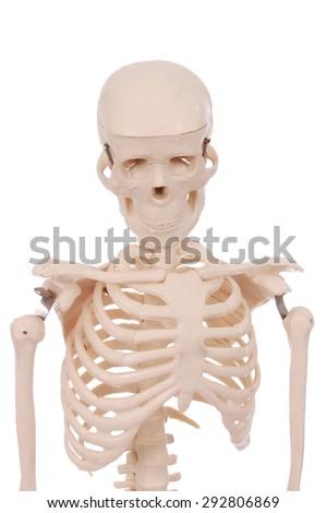 Rib cage of a skeleton - stock photo