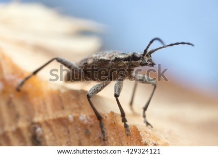 Ribbed pine borer, Rhagium inquisitor on wood