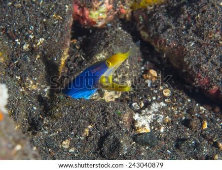Ribbon Eel in Rocks - stock photo