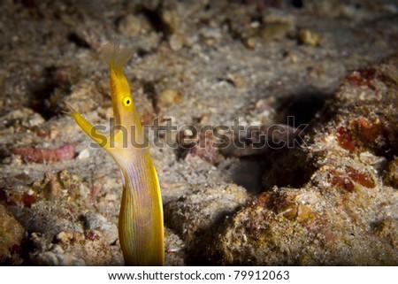 Ribbon eel peeking out of her hole, in the Andaman Sea, Thailand. Rhinomuraena quaesita - stock photo