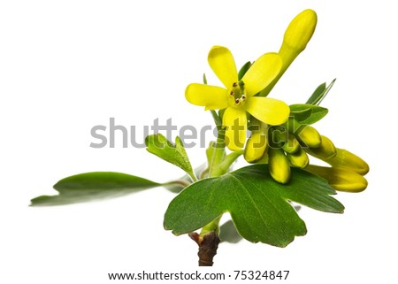 Ribes Aureum Blossoms - stock photo