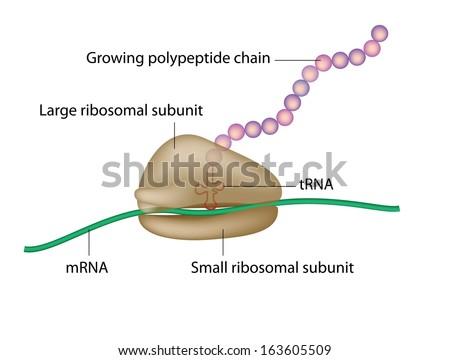 Ribosome and translation - stock photo