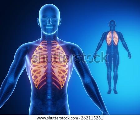 RIBS bone anatomy x-ray scan - stock photo
