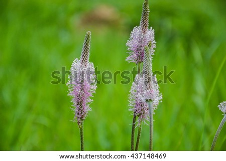 Ribwort plantain, Narrowleaf plantain (Plantago lanceolata) in blossom. Blooming flower in spring time - stock photo