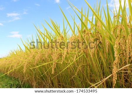 Rice and blue sky - stock photo