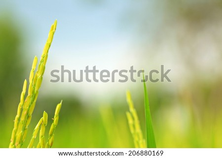 Rice Farm, Jusmine Rice - stock photo