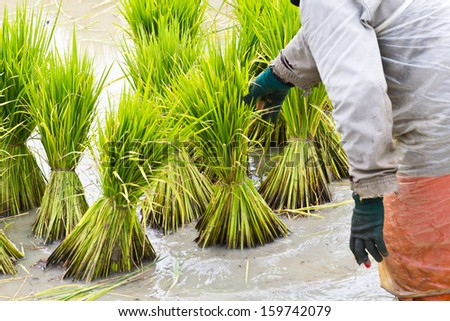 Rice farmers are withdrawing the seedlings to transplanting.
