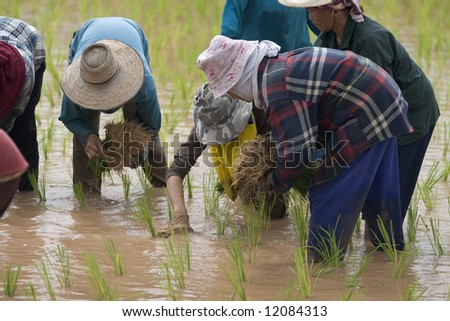Rice farmers in Thailand