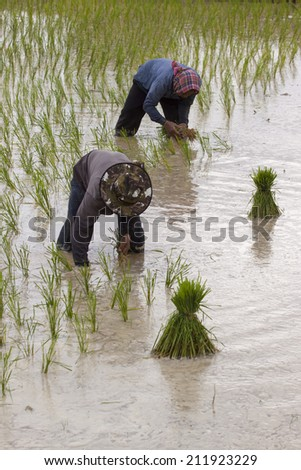Rice farmers on rice field in Thailand