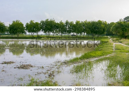 Rice field after rain - stock photo