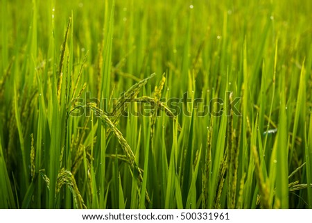 Rice field and dew in the morning with bokeh light.