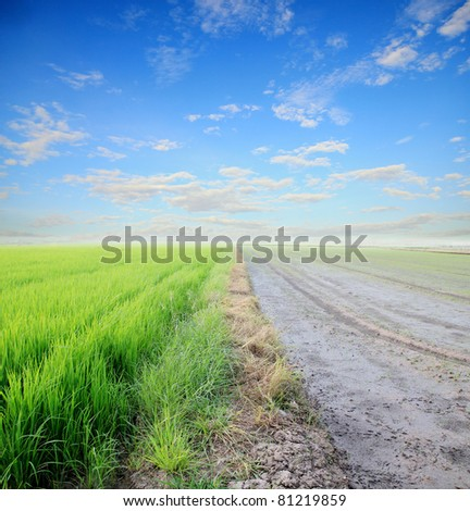 rice field and rice sprout divide by sidewalk