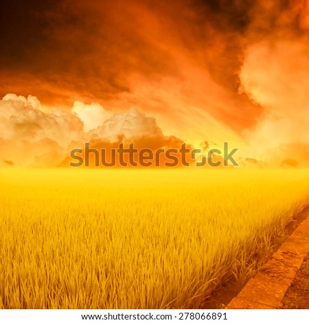 rice field and sky Sunset