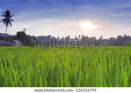 Rice field at the sunset - stock photo