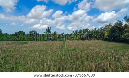 Rice field at town Ubud on Bali in summer sunny day - stock photo
