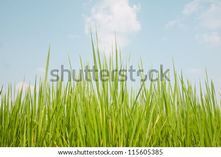 rice field background - stock photo