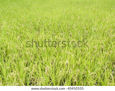 Rice field before harvesting in autumn