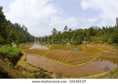 Rice field flooded with water in the forest of Sumatra