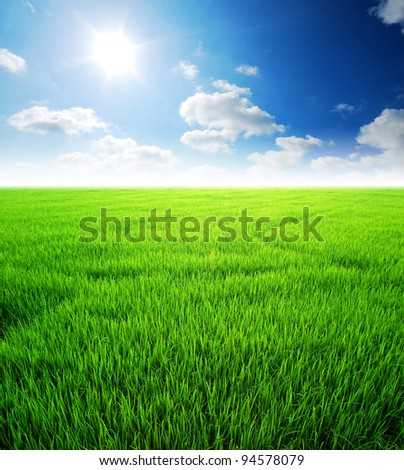 Rice field green grass - stock photo