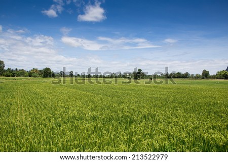 Rice field green landscape background - stock photo