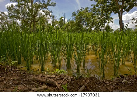 Rice field in Asia
