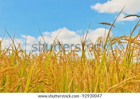 rice field in blue sky - stock photo
