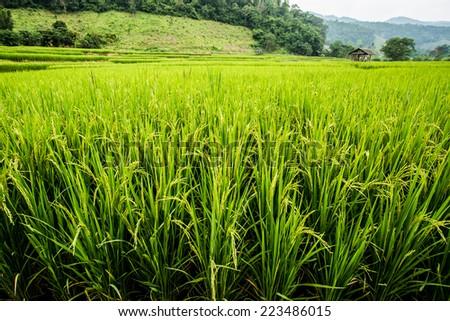 rice field in chiangmai Thailand - stock photo