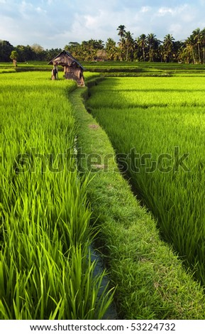Rice field in early stage at Ubud, Bali, Indonesia. Coconut tree and hut at background. - stock photo