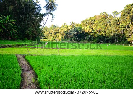 Rice Field In Kandy - Sri  Lanka. The Sri Lankan Department Of Agricultures Figures Show That About 70% Of The Cultivable Land On The Island Is Used For Growing Rice - stock photo