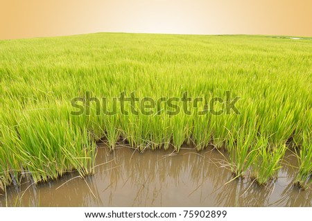 Rice field in morning - stock photo
