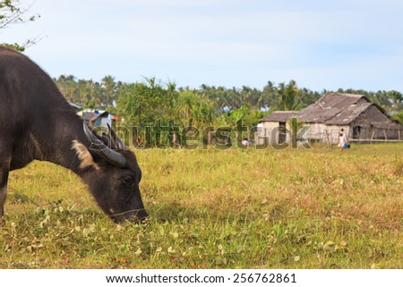 Rice field in Palawan, Philippines, with water buffalo (Carabao) - stock photo