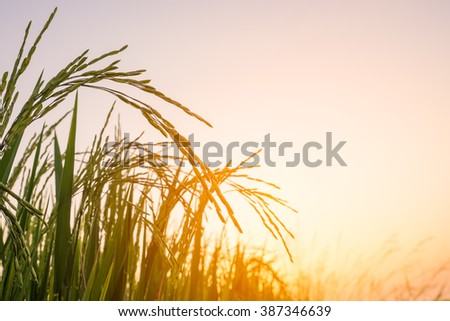 Rice field in sunset time.