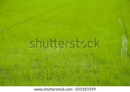 Rice field in Thailand. - stock photo