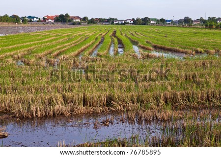 Rice Field in Thailand - stock photo