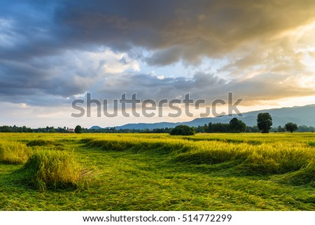 Rice field in the evening sunlight
