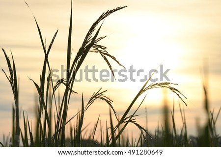 Rice field in the morning in Asia.