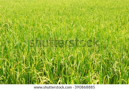 rice field, nature background