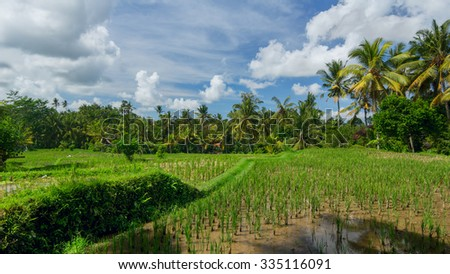 Rice field near the town of Ubud - stock photo