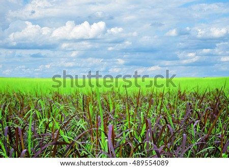 Rice field on beautiful cloud sky