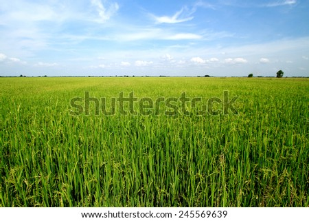 Rice field on blue sky in Thailand - stock photo