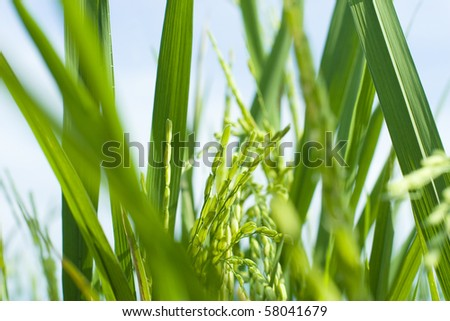 Rice Field On The Sunny Day (Shiny Seed)