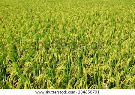 rice field only nature day light nobody - stock photo